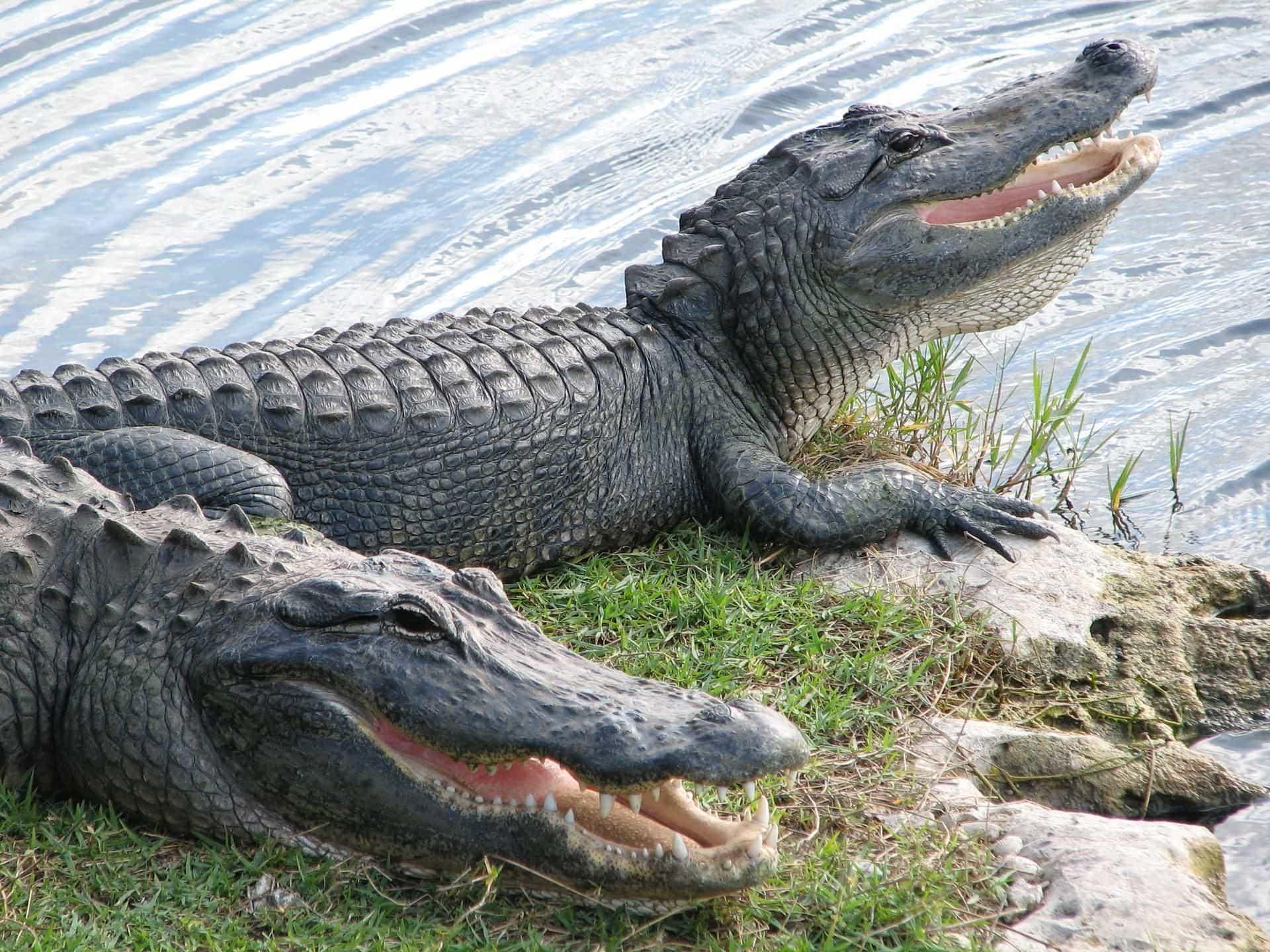 Alligator Dream Meaning