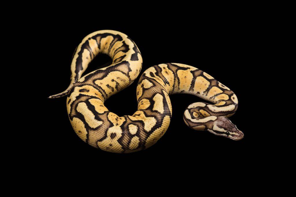 anaconda dream meaning,dream about anaconda, anaconda dream interpretation, seeing in a dream anaconda