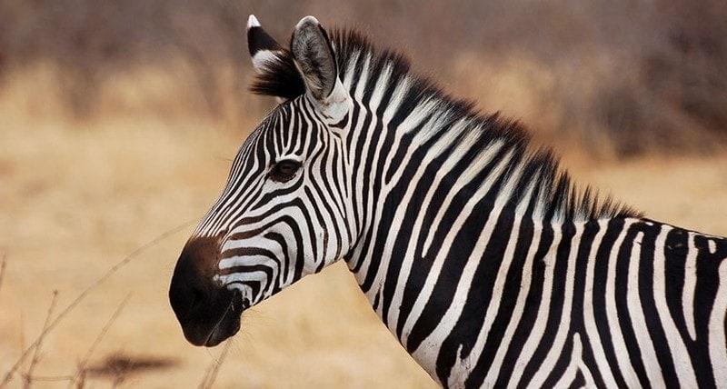 zebra dream meaning, dream about zebra, zebra dream interpretation, seeing in a dream zebra
