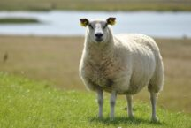 Sheep Dream Meaning