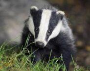 Badger Dream Meaning