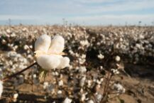 Cotton Dream Meaning