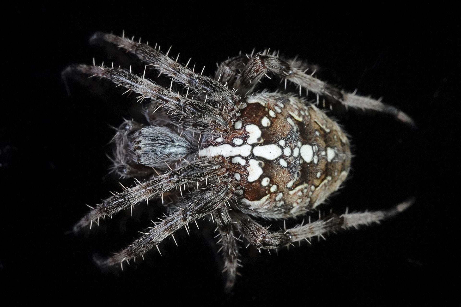 spider dream meaning, dream about spider, spider dream interpretation, seeing in a dream spider