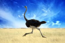 Ostrich Dream Meaning