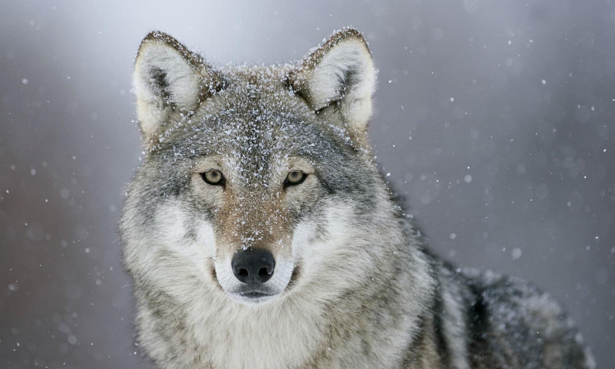 wolf dream meaning, dream about wolf, wolf dream interpretation, seeing in a dream wolf