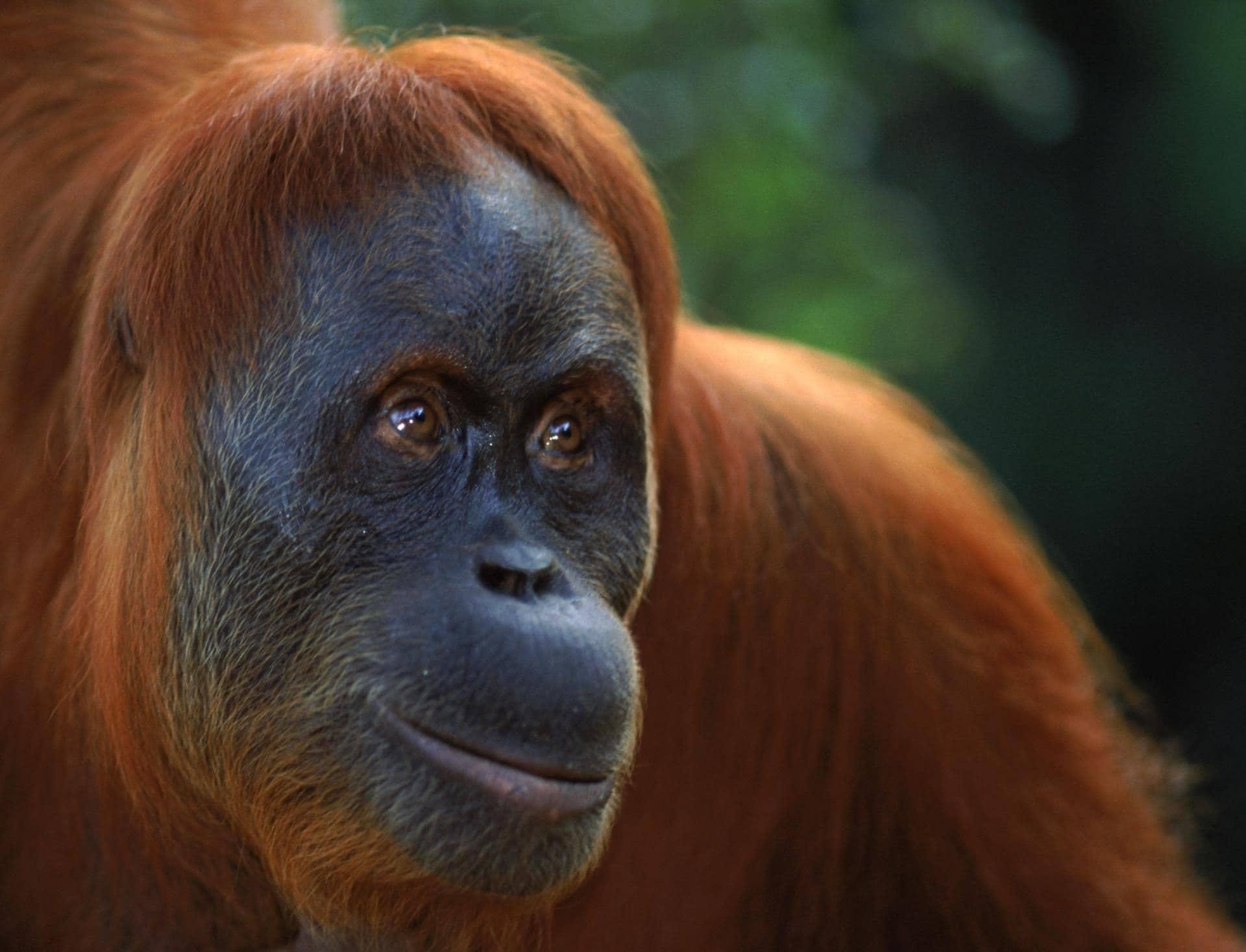 orangutan dream meaning, dream about orangutan, orangutan dream interpretation, seeing in a dream orangutan