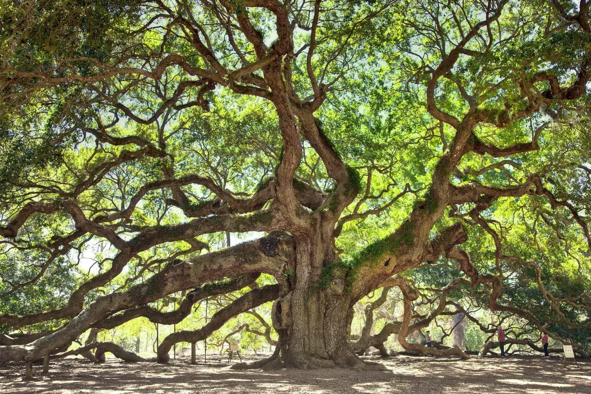 oak dream meaning, dream about oak, oak dream interpretation, seeing in a dream oak