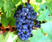 Grapes Dream Meaning