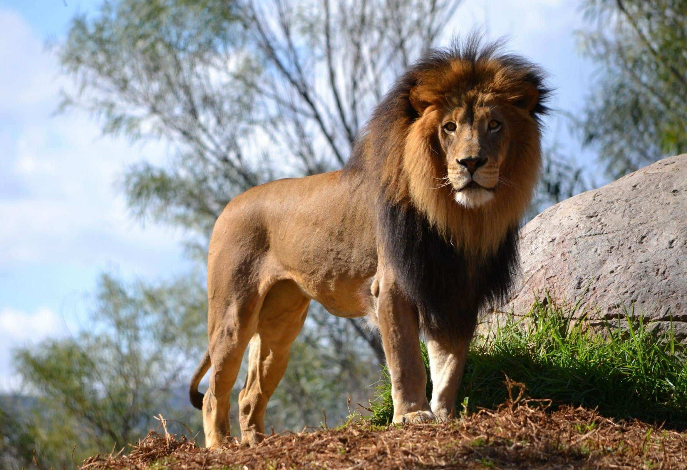 lion dream meaning, dream about lion, lion dream interpretation, seeing in a dream lion