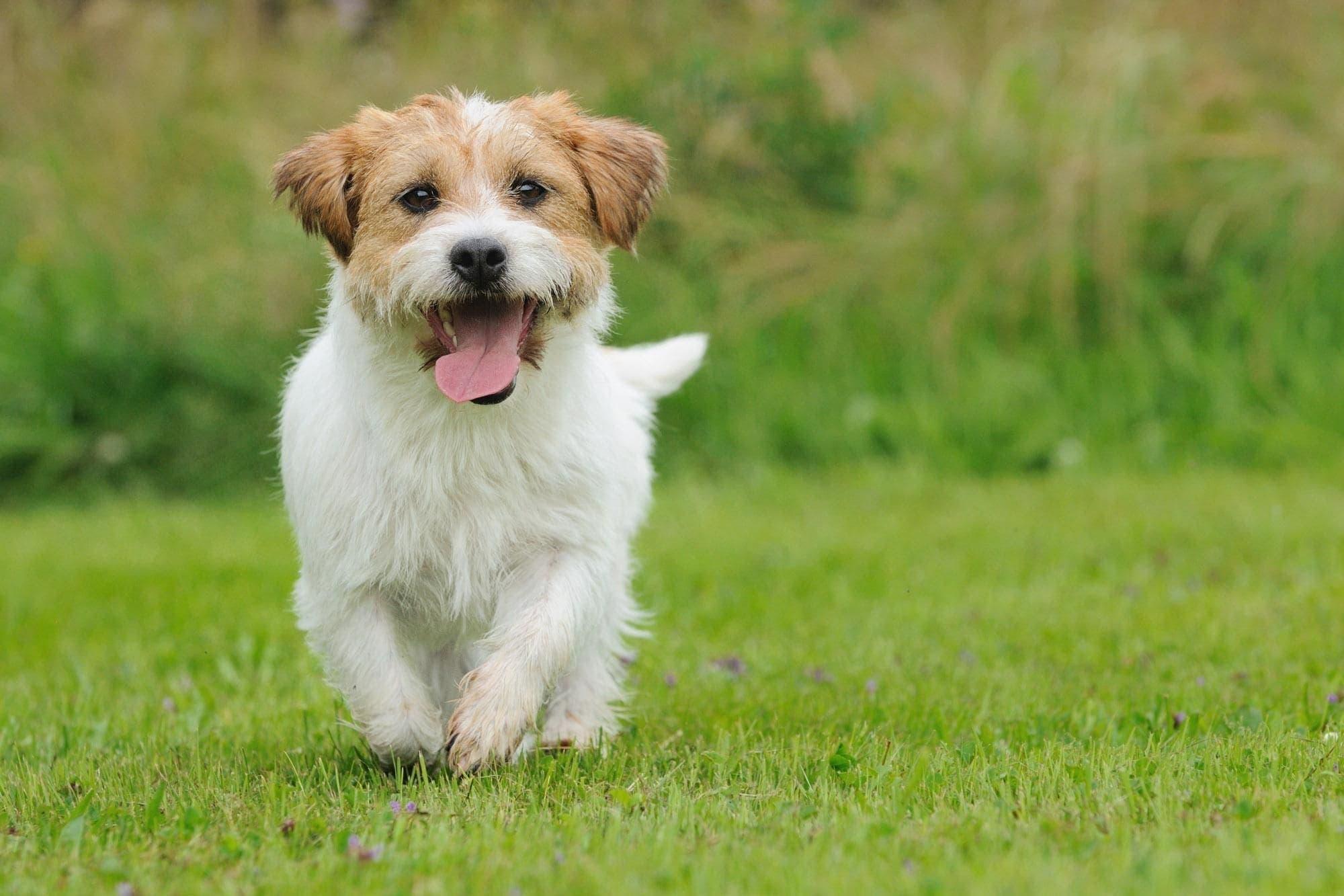 dog dream meaning, dream about dog, dog dream interpretation, seeing in a dream dog