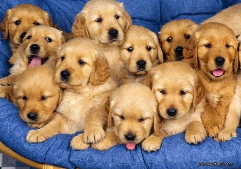 puppy dream meaning, dream about puppy, puppy dream interpretation, seeing in a dream puppy