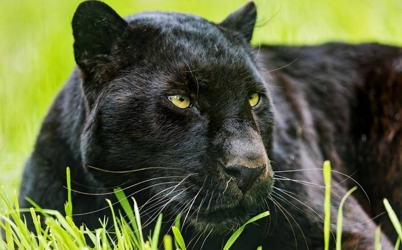 panther dream meaning, dream about panther, panther dream interpretation, seeing in a dream panther