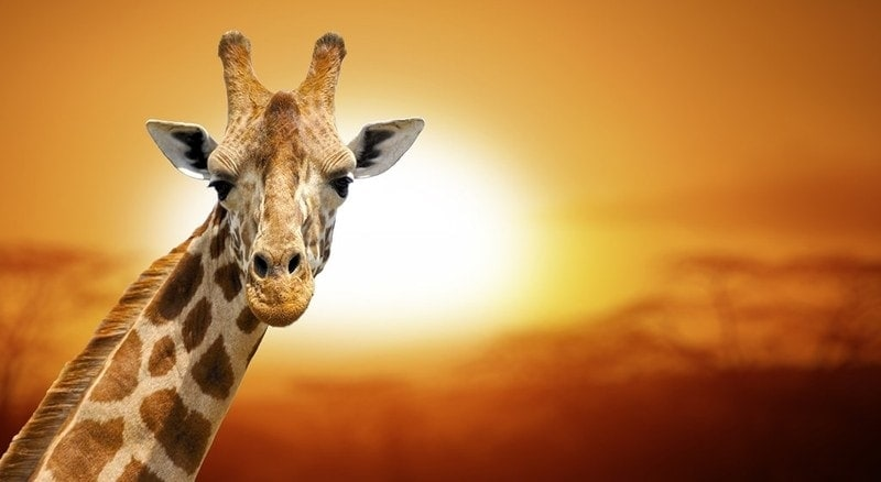 giraffe dream meaning, dream about giraffe, giraffe dream interpretation, seeing in a dream giraffe