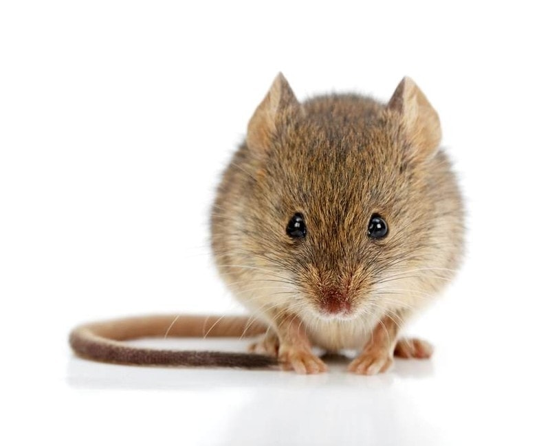 mouse dream meaning, dream about mouse, mouse dream interpretation, seeing in a dream mouse