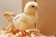 Chicken Dream Meaning