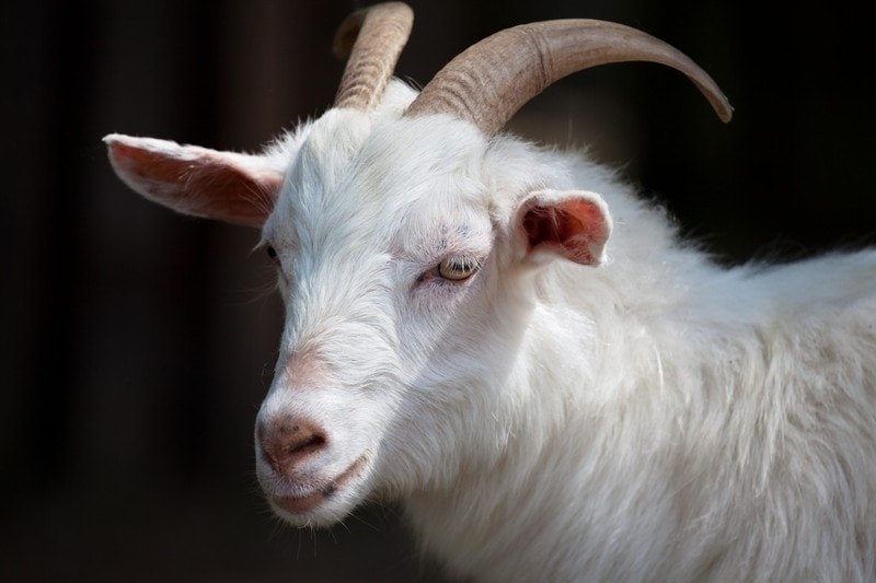 goat dream meaning, dream about goat, goat dream interpretation, seeing in a dream goat