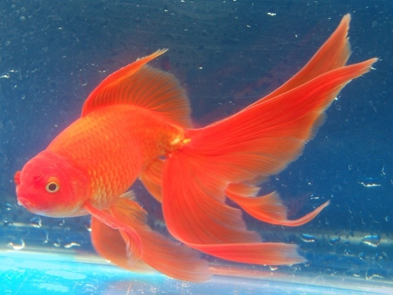 goldfish dream meaning, dream about goldfihs, goldfihs dream interpretation, seeing in a dream goldfish