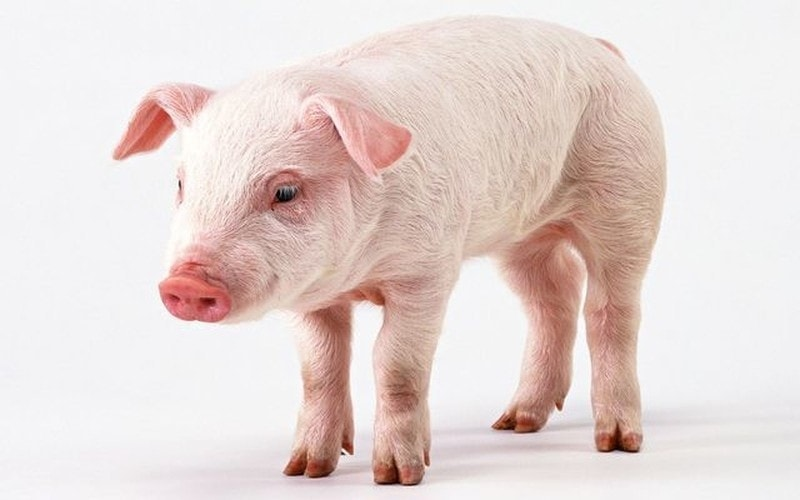 pig dream meaning, dream about pig, pig dream interpretation, seeing in a dream pig