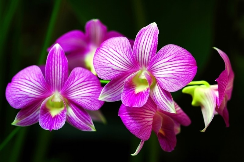 orchid dream meaning, dream about orchid, orchid dream interpretation, seeing in a dream orchid