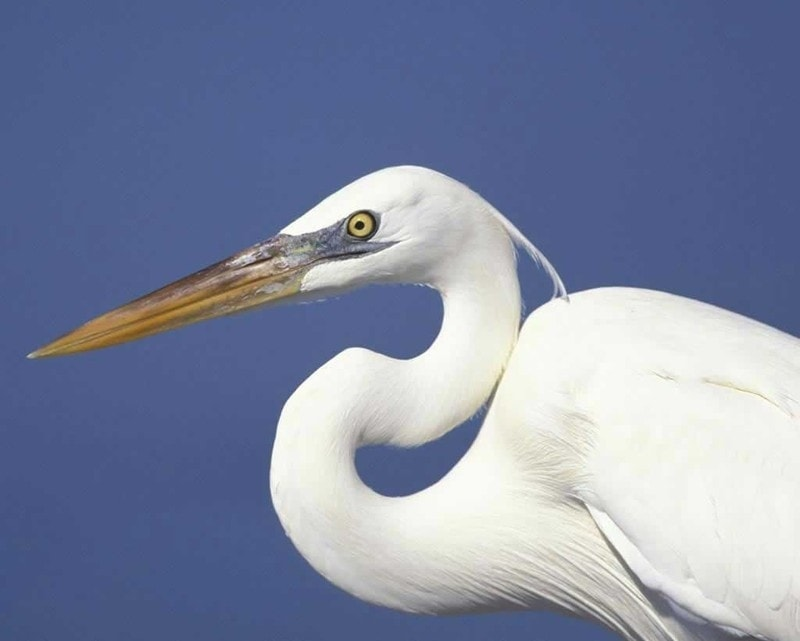 heron dream meaning, dream about heron, heron dream interpretation, seeing in a dream heron