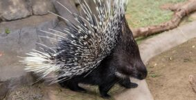 Porcupine Dream Meaning