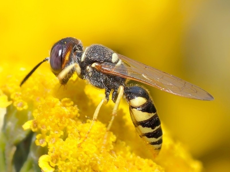 wasp dream meaning, dream about wasp, wasp dream interpretation, seeing in a dream wasp